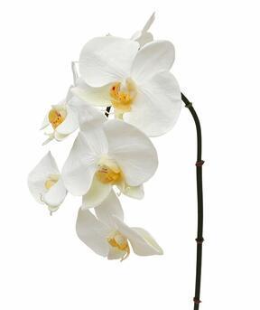 Orchidee kunsttak wit 55 cm