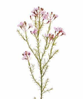 Kunsttak Chamelaucium uncinatum roze 65 cm