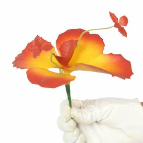 Vlinderbloem 20 cm